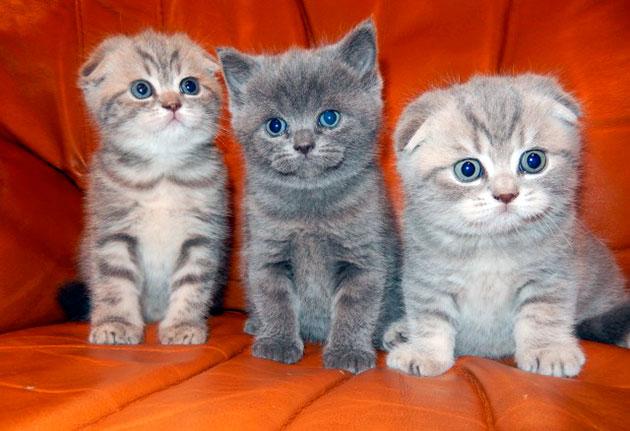 Котята скотиш фолда могут родиться, как вислоухими, так и прямыми ушками