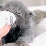 Чем кормить котенка мейн-куна