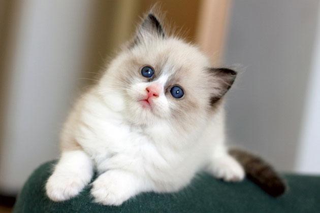 Котенка регдолла в возрасте полтора месяца, кормят в дневное время с интервалом около 4 часов