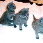 Чем кормить котенка русской голубой кошки