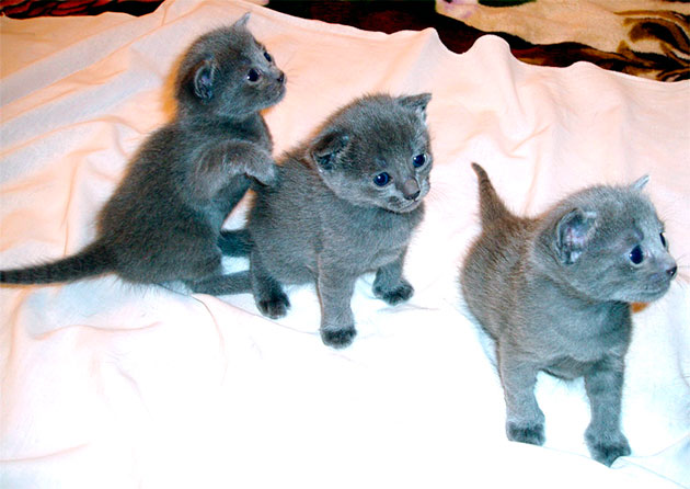 В первый месяц жизни котенку русской голубой кошки лучше питаться материнским молоком