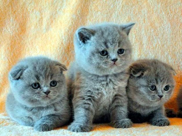 Чем кормить котенка шотландской вислоухой кошки