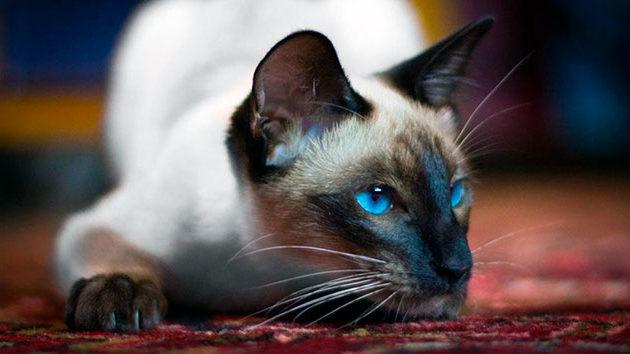 Основными факорами влияющими на продолжительность жизни являются: рацион питания и условия содержания сиамской кошки