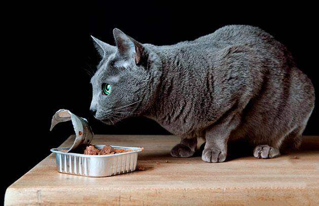 До 1-2 месяцев котенка русской голубой выкармливает мать, потом котенок переходит на питание натуральной пищей или готовыми кормами