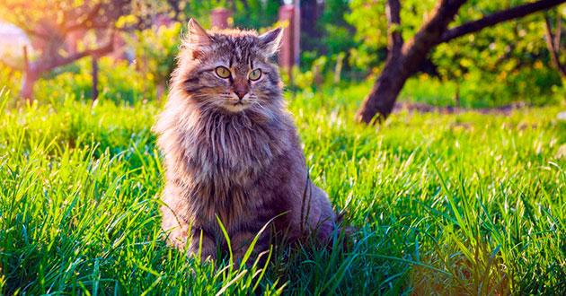 К факторам влияющим на рост сибирской кошки можно отнести: наследственность, сбалансированное питание и уход за питомцем