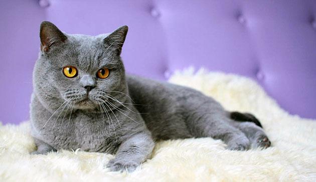 Британские кошки дисквалифицируются при проблемах со здоровьем, а так же дефектами во внешнем виде