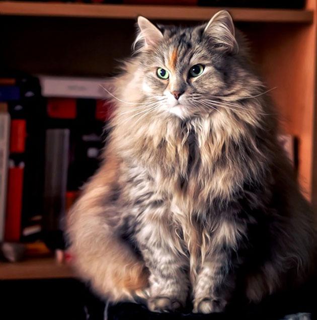 Одним из дисквалифицирующих недостатков у сибирской кошки является яркая выраженная внешность персидского кота