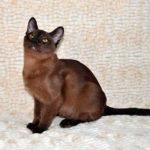 Стандарты породы Бурманская кошка