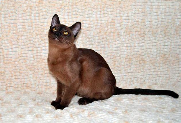 Главным признаком дисквалификации бурманских кошек является - короткая шерсть