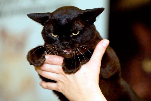 Гипокалиемия характеризуется нехваткой кальция в организме бурманской кошки