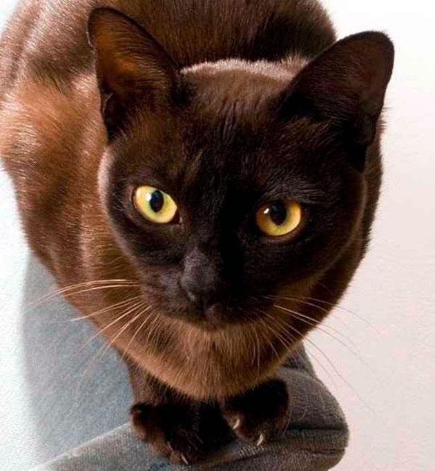 Голова бурманской кошки небольшого размера и клиновидной формы