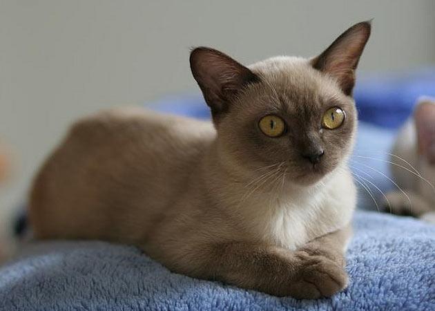 Бурманская кошка обладает высоким интеллектом и смекалкой