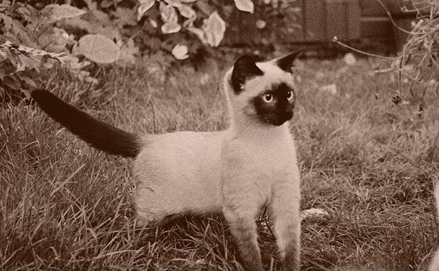 Как выводят породу сиамских кошек