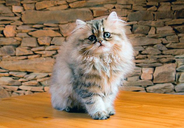 В 19 веке персидские кошки получили огромную популярность в Америке