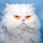 История породы Персидская кошка