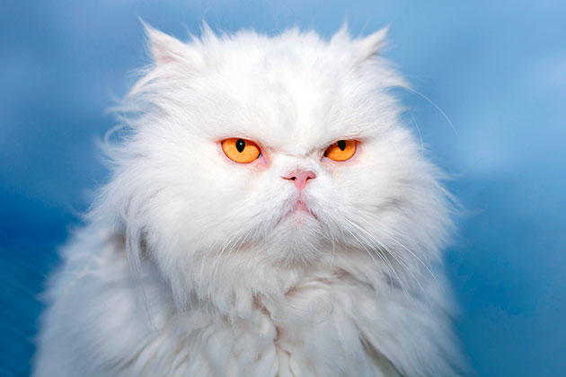 В России персидские кошки появились в 80-х годах XX века