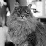 История породы Сибирская кошка