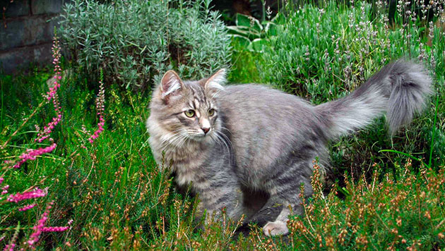 Сибирскую кошку в Америке - Sibеriаn Fоrеst Саt