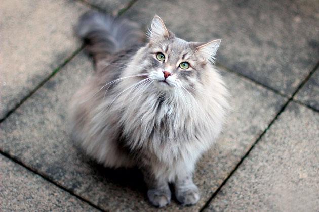 На сегодняшний сибирская кошка распространена во многих странах