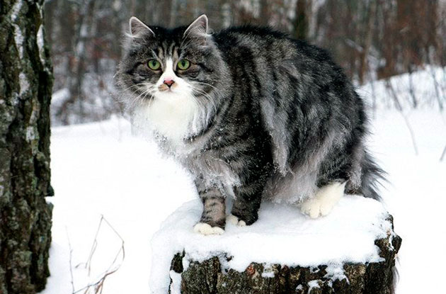 Первые упоминания о племенных сибирских кошках в России упоминается в конце 80-х годов прошлого века