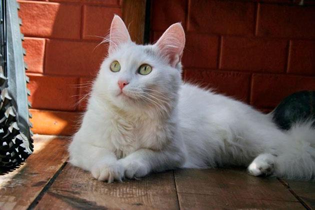 Впервые в Европе ангорская кошка появилась во Франции