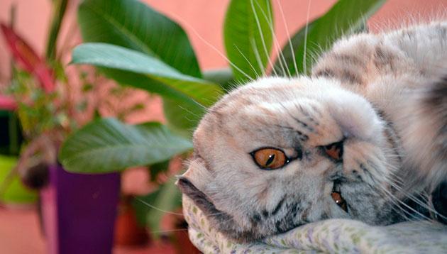 В России шотландские вислоухие кошки появились не так давно - в конце XX века