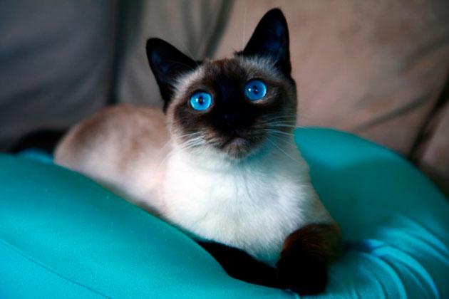 Как выводят породу сиамских кошек thumbnail