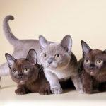 Как назвать бурманскую кошку