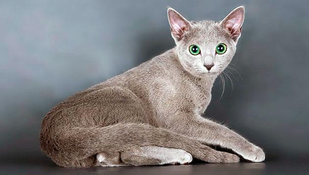 Русской голубой кошке лучше дать нежно и грациозное имя