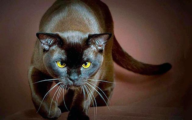 Котам бурманской кошки можно дать мужественную кличку
