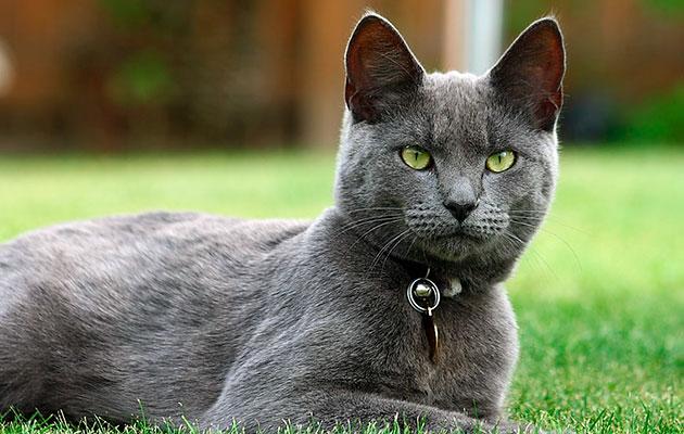 Кличку русскому голубому коту лучше давать, с наименьшим количеством шипящих звуков