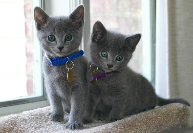 Как назвать русскую голубую кошку