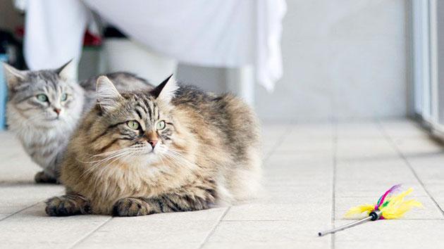 Сибирские кошки уступают в размерах котам