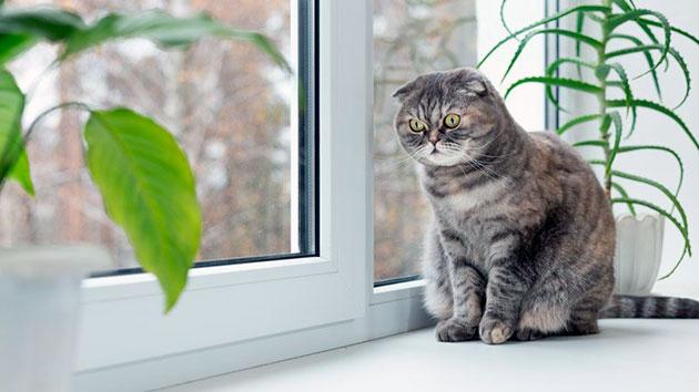 Апатия и отказ от пищи явные признаки заболевания у шотландской вислоухой кошки