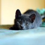 Как приучить русскую голубую кошку к лотку