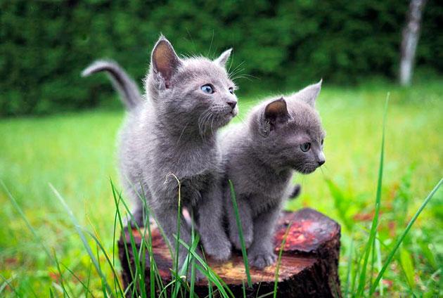 Если вы содержите русскую голубую кошку в загородном доме, оптимальное место для туалета - улица