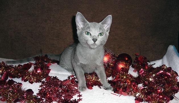 Одной из причин, что русская голубая кошка ходит мимо лотка - заболевание мочеиспускательного канала