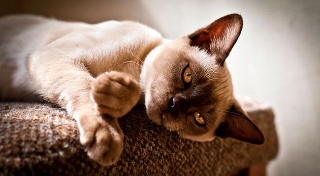 Держите бурманскую кошку подальше от сквозняков - это их главный враг