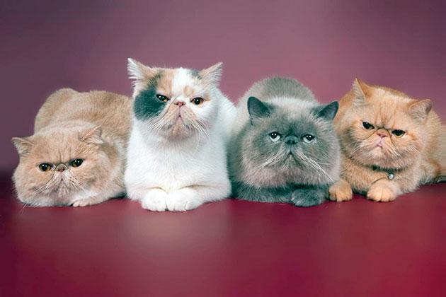 Персидские кошки обладают рядом родовых пороков, поэтому необходимо регулярно обследоваться в ветеринарной клинике
