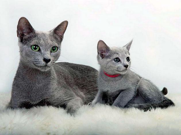 Продолжительность жизни русской голубой кошки
