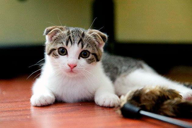 Что бы продлить жизнь шотландской вислоухой кошки необходимо регулярно проходить обследование в ветеринарной клиники