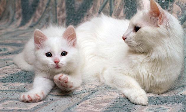 Основным фактором влияющим на продолжительности жизни ангорской кошки, является наследственность