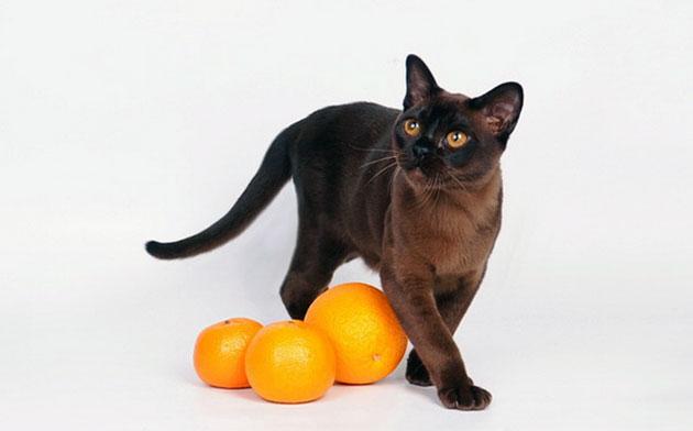 Лучшая профилактика для бурманской кошки - правильное питание