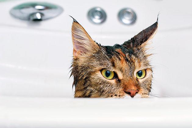 При купание котенка мейн-куна следует придерживается одного главного правила - ни в коем случае не кричать на вашего питомца