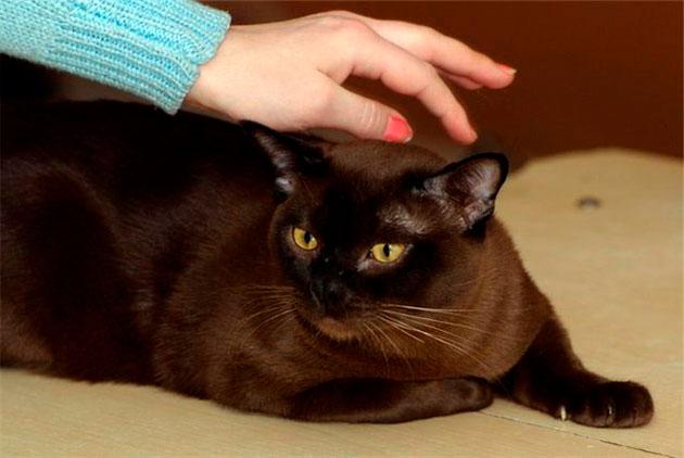 Доказано, носительство гена HD никак не отражается на здоровье бурманской кошки