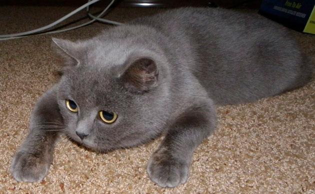 Наследственность у британской кошки хорошая и если вы приобрели кошку в питомнике - это гарантирует долголетие питомцу