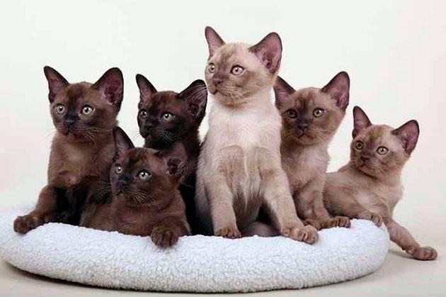 В настоящее время существует несколько цветов бурманской кошки