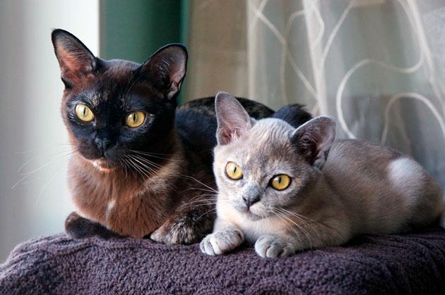 Окрасы шерсти у кошек породы Бурманская