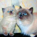 Окрасы шерсти у кошек породы рэгдолл