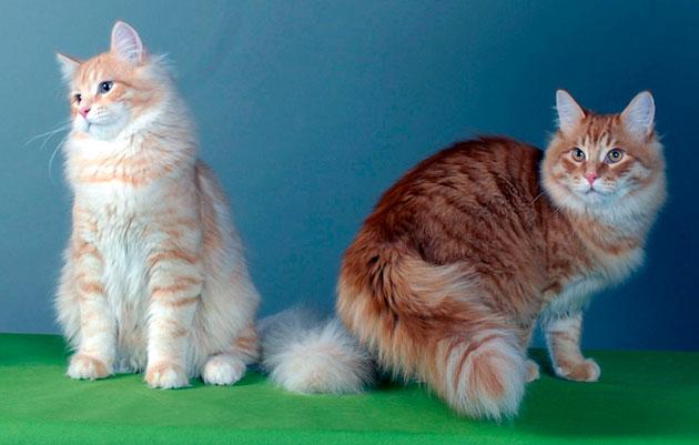 Достаточно редко встречающийся цвет шерсти у сибирской кошки - белый